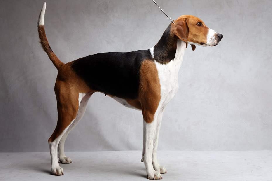 سگ انگلیش فاکسهاند