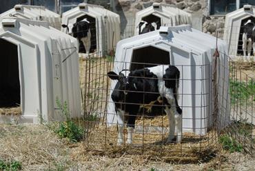 ادعای دروغین فروش گوشت گوساله لاکچری