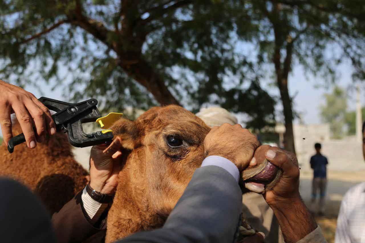 پلاککوبی 10هزار شتر در هرمزگان