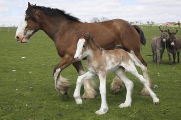 اسب کلایدسدال