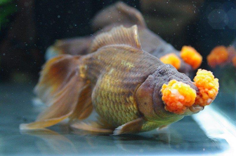 گلدفیش گل کوبکی یا منگوله ای (Pompom goldfish)