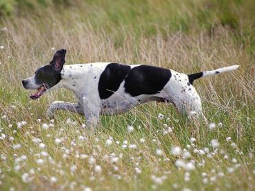 سگ پوینتر انگلیسی
