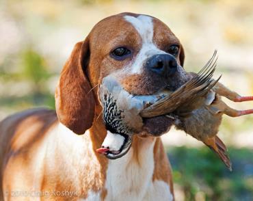 تاریخچه سگ پوینتر انگلیسی