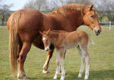 اسب نژاد سافوک