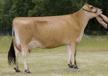 گاو شیری جرسی