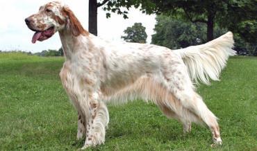 سگ نژاد انگلیش ستر