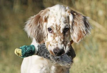 تاریخچه سگ نژاد انگلیش ستر