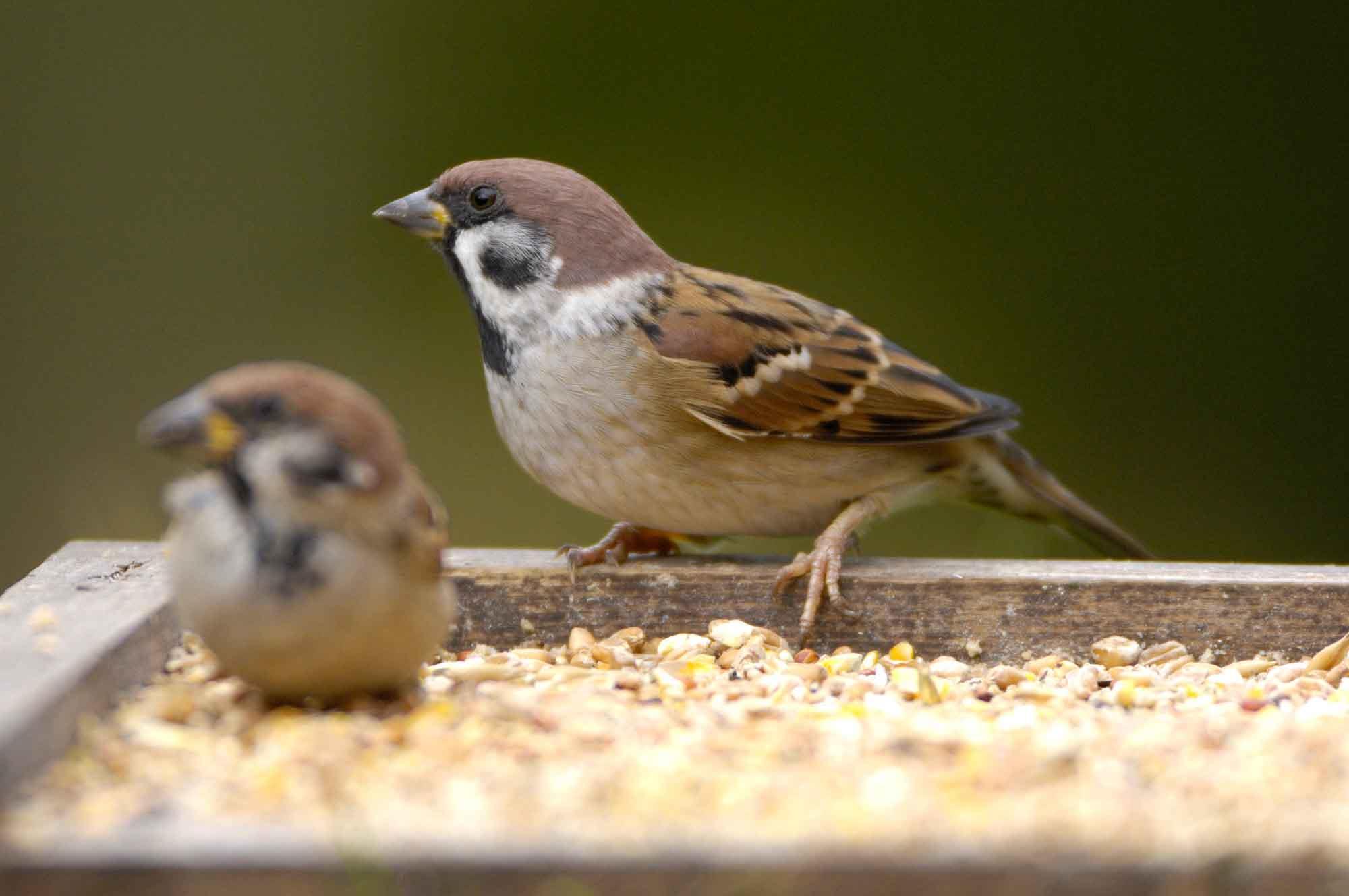 استفاده در غذای برای پرندگان زینتی ممنوع