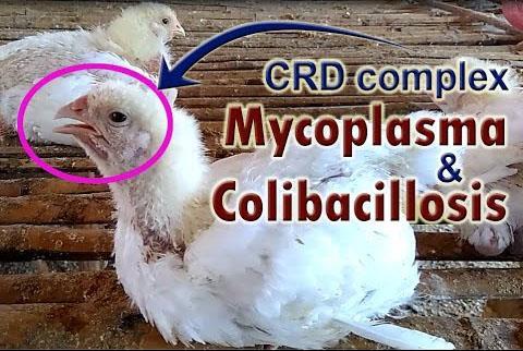 مایکوپلاسما گالی سپتیکم (MG) یا CRD