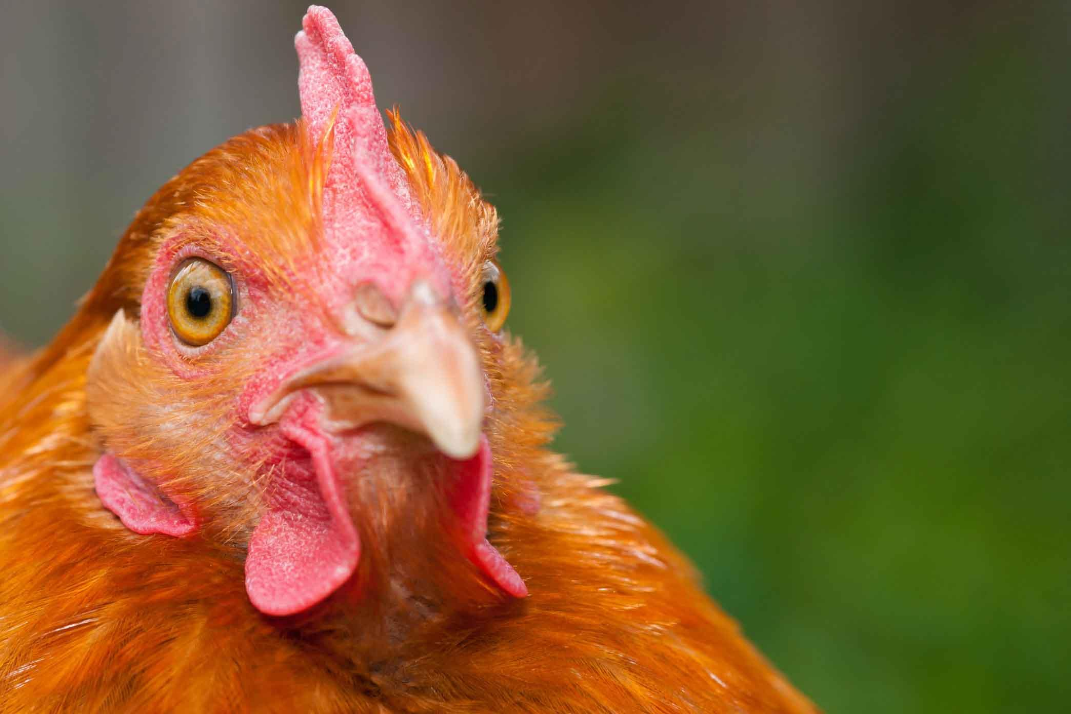 واکسیناسیون موفقیتآمیز در مرغداری