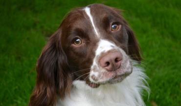 سگ انگلیش اسپرینگر اسپانیل