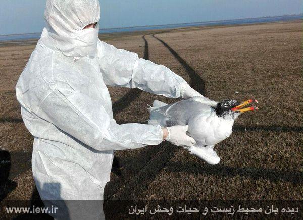 سروتیپ خطرناک H5N6 ویروس آنفلوآنزای فوق حاد پرندگان وارد کشور شد