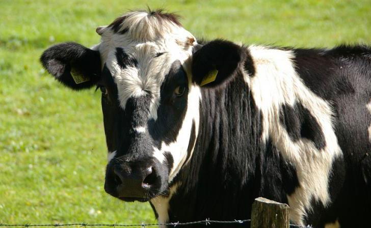 نژادهای شاخص گاو در ایران
