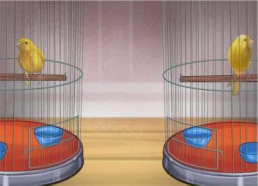 نگهداری قناریها در قفسهایی مجزا  تا زمان جفتگیری