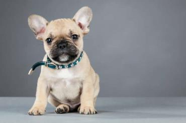 سگ نژاد فرنچ بولداگ