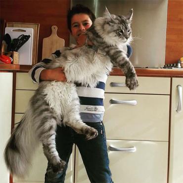 گربه غول پیکر مینکوون