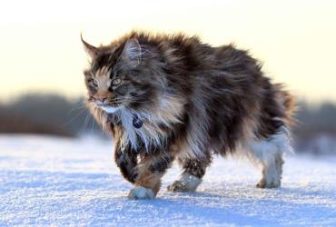 گربه مین کوون
