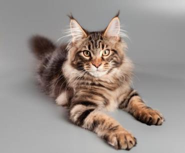 خصوصیات گربه مینکوون