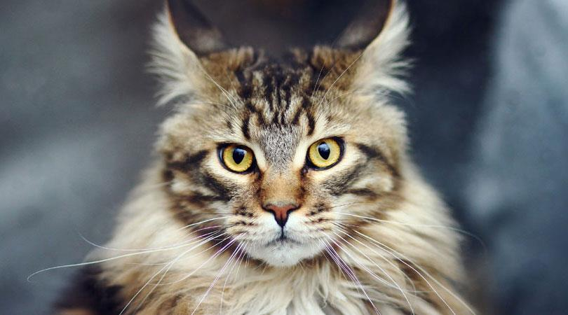 گربه نژاد مینکوون
