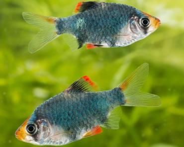 خلق و خوی ماهی تایگر بارب سبز