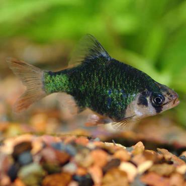 ماهی تایگر بارب سبز