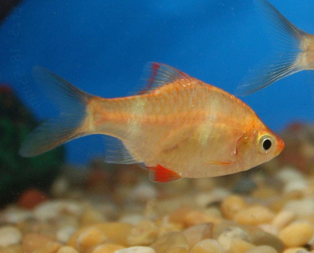 ماهی تایگر بارب آلبینو