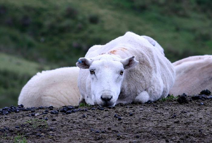 بیماری تب شیر در گوسفندان