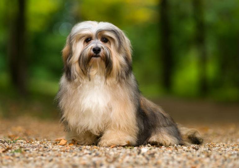 سگ نژاد هاوانیز