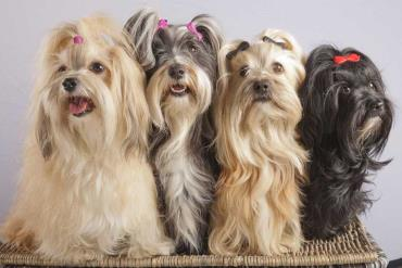 سگ هاوانیز