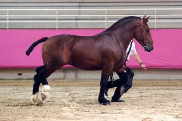 خصوصیات اسب نورمن کاب