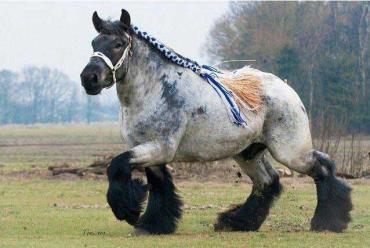 خصوصیات اسب نژاد آردنایز
