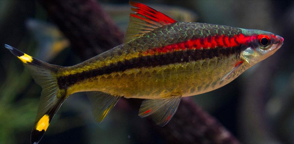 ماهی بارب دنیسون