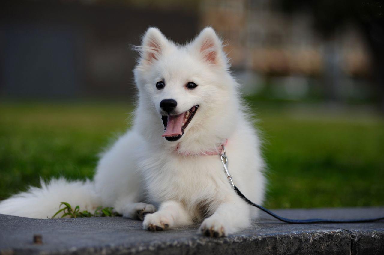 سگ جاپانیز اشپیتز