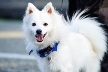 شرایط نگهداری سگ جاپانیز اشپیتز