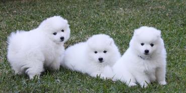 توله سگ نژاد اشپیتز ژاپنی