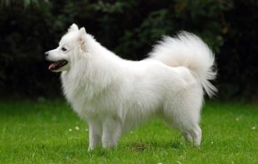 سگ اشپیتز ژاپنی