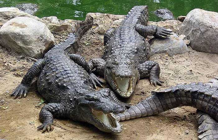 پرورش صنعتی تمساح و کروکودیل