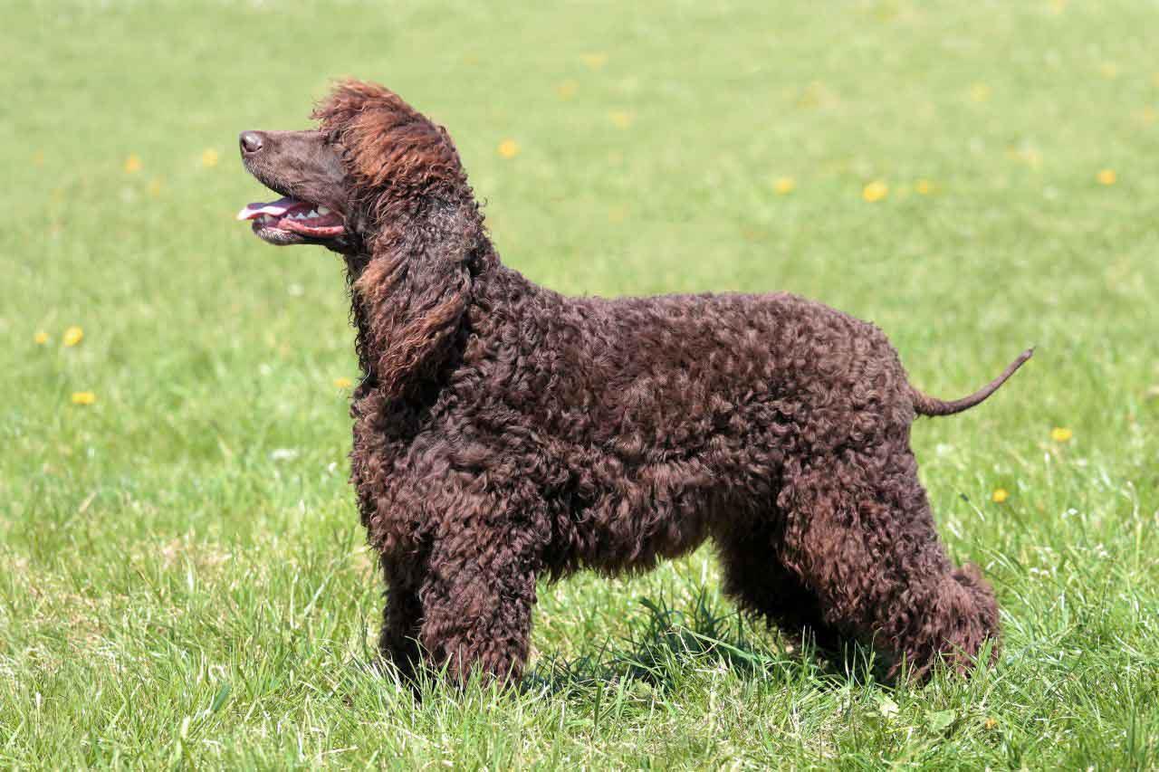 سگ آیریش واتر اسپانیل