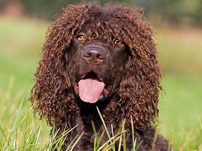 سگ نژاد آیریش واتر اسپانیل