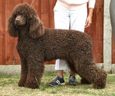 تاریخچه سگ آیریش واتر اسپانیل