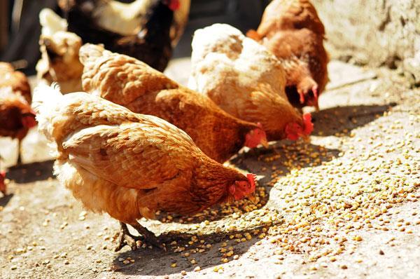آزمایش فارمی اثرات محرکهای رشد بر ایمنی و عملکرد جوجههای گوشتی