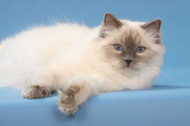 خصوصیات گربه رگدال