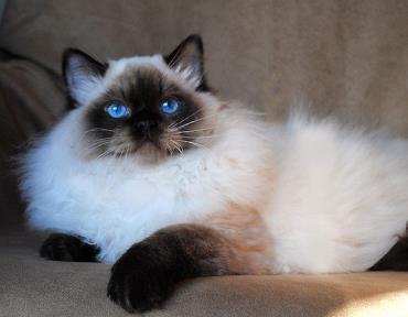 خلق و خوی گربه رگدال