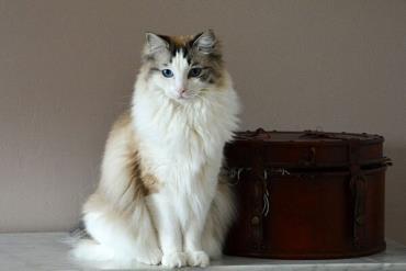 اطلاعات گربه نژاد رگدال