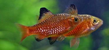 نگهداری ماهی رزی بارب