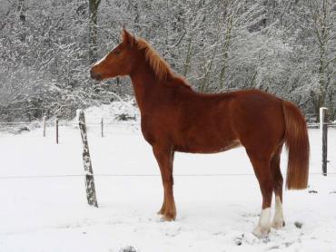 خصوصیات اسب فرنچ تروتر