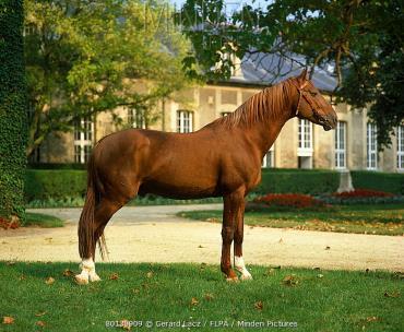 اسب فرنچ تروتر