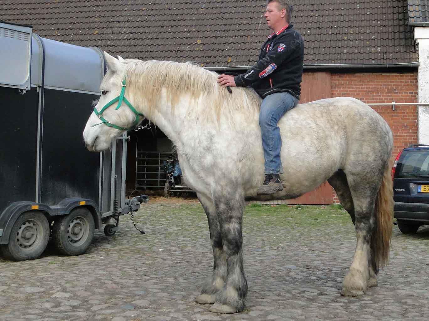 اسب نژاد پرچرون