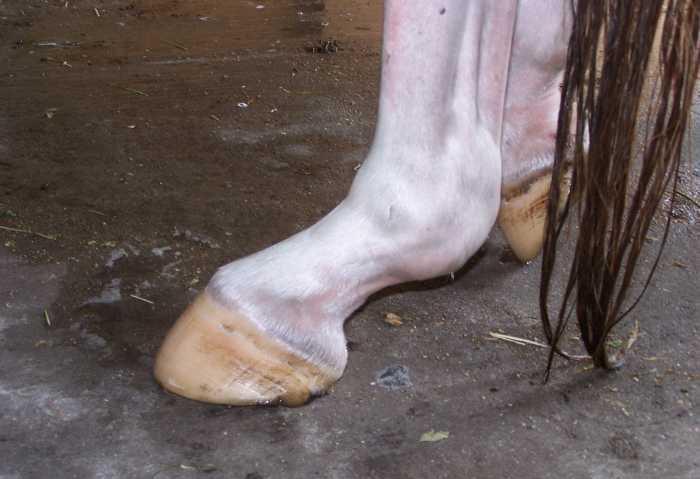 آسیب لیگامان معلقه در اسب