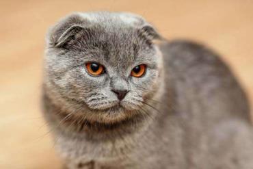 خلق و خوی گربه اسکاتیش فولد